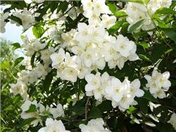 Жасмин (Jasminum) 50-70 см