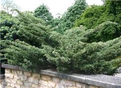 Можжевельник виргинс/Juniperus virg. 'Grey Owl' 30-40 см