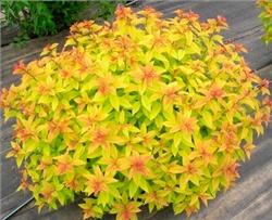 """Спирея японская/Spiraea japonica """"Goldflame"""""""