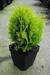 Туя восточная Ауреа Нана / Thuja orientalis Aurea Nana 15 см