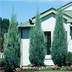 """МОЖЖЕВЕЛЬНИК СКАЛЬНЫЙ """"БЛУ ЭРРОУ"""" ( Juniperus scopulorum Blue Arrow )  100 см"""