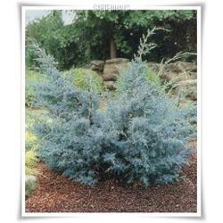 Можжевельник китайский Blue Alps 40-50 см