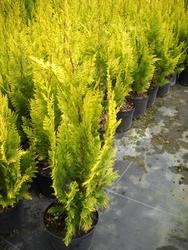 Кипарисовик Лавсона /Chamaecyparis lawsoniana ivonne 50-60 см