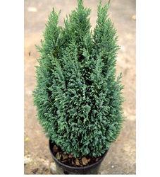 Кипарисовик Лавсона Эльвуди/Chamaecyparis lawsoniana  30-40 см