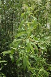 Ива Матсудана / Salix Erythroflexuosa 90-110 см