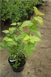 Пузыреплодник / Physocarpus opulifolius 'Luteus 40-50 см