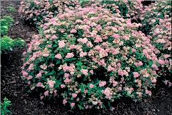 Спирея японская/Spiraea japonica 'Little Princess'